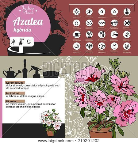 Template For Indoor Plant Azalea. Tipical Flowers Grown At Home And Office.
