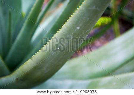 Closeup of Aloe cryptopoda, also known as Yellow Aloe and Aloe cryptopoda Baker
