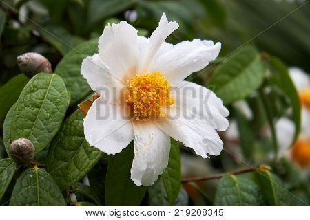 Camellia granthamiana flower, aslo known as Granthams camellia