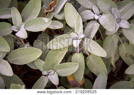 Common sage, Salvia officinalis, leaves growing in garden
