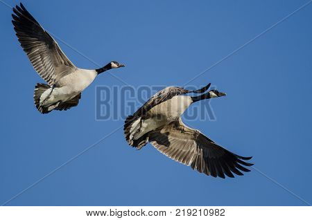 Pair of Canada Geese Flying in a Blue Sky