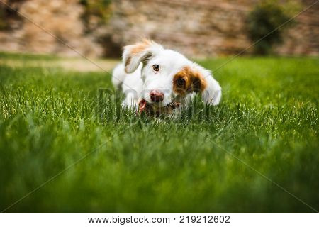 Pleased and happy dog eating meat on bone lying on green grass. poster