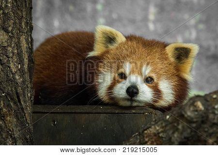 Red panda, Ailurus fulgens, resting inside in the zoo in winter. Dyreparken Zoo in Kristiansand, Norway