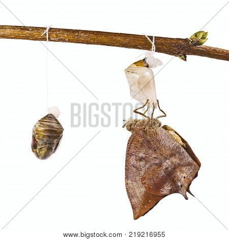 Autumn leaf butterfly, Doleschalia bisaltide, has just emerged from its pupa. Two pupae are hung on a tree branch, All objects are isolated on white background