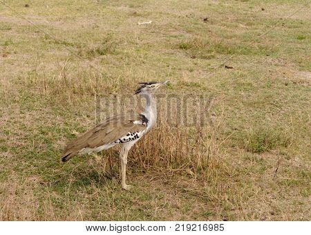 Kori Bustard (Ardeotis kori struthiunculus) in the Ngorongoro crater