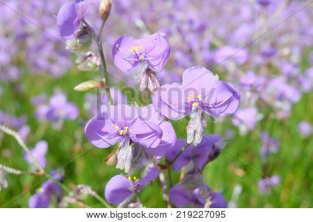 Crested serpent flowers Sweet Purple flowers field. Crested serpent garden in Thailand.
