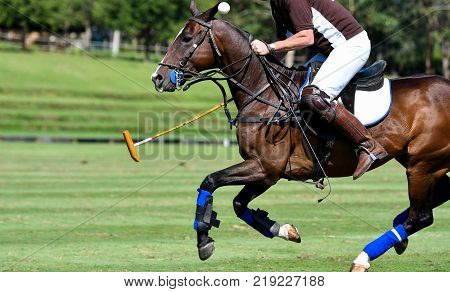 Action of Horse Polo Player and Ponies in Match.