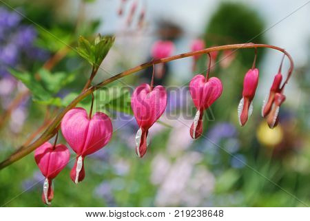 Heart bleeding flowers with branch and green leaves in sunny day with background blurry, garden  in summer garden, europe Belgium,
