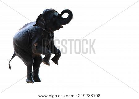 young elephant standing with two hind legs isolated on white background
