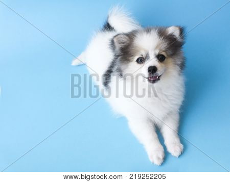 Closeup puppy pomeranian looking at something with light blue background dog healthy concept selective focus