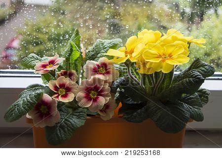 Flower box with colorful flowers on the terrace in the spring. Flowers in pots. Flowers in plastic pots. Flower case. Ranunculus. Primrose. Primula. Ivy.Viola tricolor