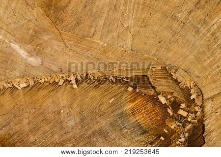 Tree stumps background. Round teak wood stump background.