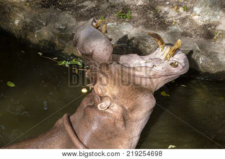 Close up hippopotamus or hippo mostly herbivorous mammal in water with open mouth and waiting for food from tourists. Thailand