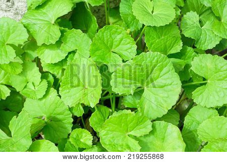 Closeup leaves of Gotu kola Asiatic pennywort Indian pennywort with sun light herb and medical concept selective focus