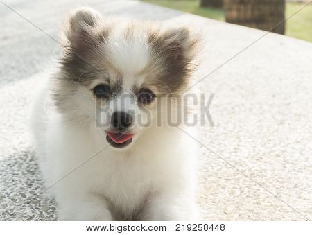 Closeup pomeranian sitting on concrete with green grass after playing in nature park pet health care concept selective focus