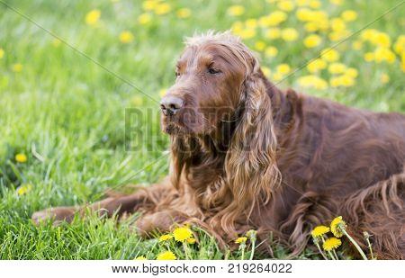 Cute sleepy lazy dog lying in the grass with dandelion flowers