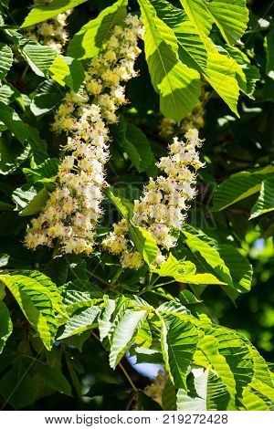 Blossoming Branches Of Chestnut Tree (aesculus Hippocastanum)