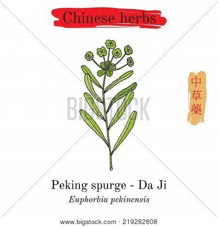Medicinal herbs of China. Peking spurge Euphorbia pekinensis . Hieroglyph translation Chinese herbal medicine