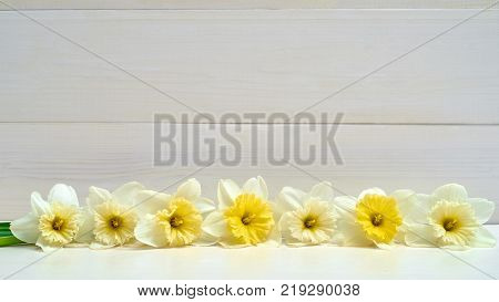 White wooden background with daffodil flowers border copy space. Top view flat lay. White narcissus. Spring flowers. Greeting card for March 8 (Women's Day) Mother's day. Spring easter background