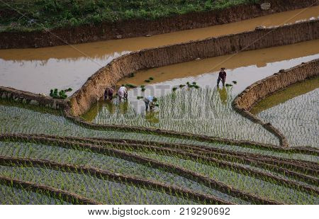 Sapa Vietnam - May 28 2016. Farmers work on rice field in Sapa Vietnam. Sapa is a frontier township and capital of Sa Pa District in Lao Cai Province in north-west Vietnam.