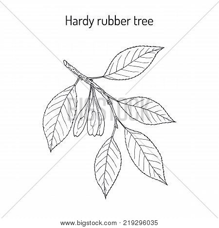 Hardy rubber tree Eucommia ulmoides , medicinal plant. Hand drawn botanical vector illustration