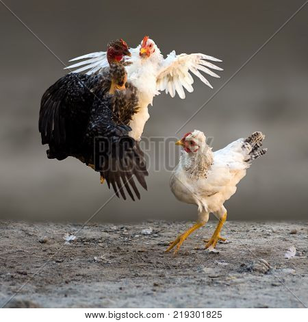 Two chickens are fighting and quarreling while the third chick is looking at their fight on gray background. Cockfight.