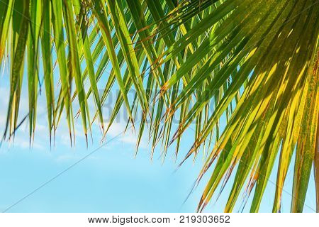 Frame from Hanging Large Round Spiky Palm Tree Leaves on Clear Blue Sky Background. Golden Sun Light. Tropical Vacation Traveling Asia Caribbean Mediterranean. Copy Space Banner Poster Template