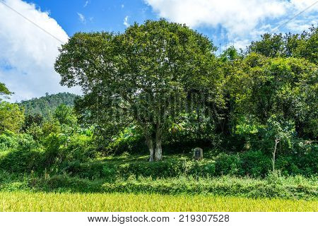 Chestnut tree heritage and Chestnut garden at Trung Khanh town, Cao Bang, Vietnam