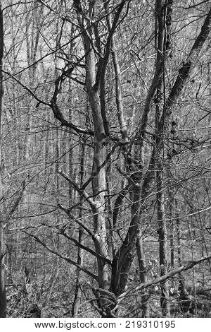 Black and white photo of unusual looking tree in Deam Lake Park in Indiana