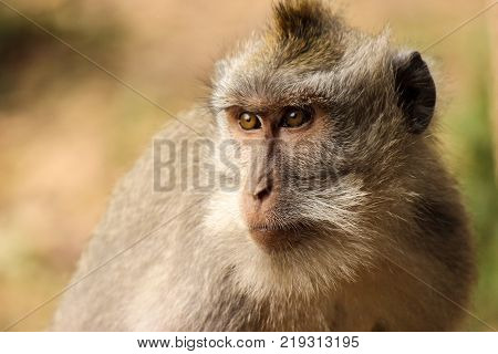 wild macaque monkey in nature watches surroundings carefully