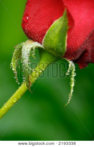 Red Rose And Stem On Green