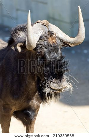 The wildebeest, also called the common wildebeest, white-bearded wildebeest or brindled gnu