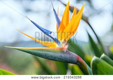 The bird of paradise flowers bloom in the love garden. This is the flower that symbolizes flying birds that express freedom in life