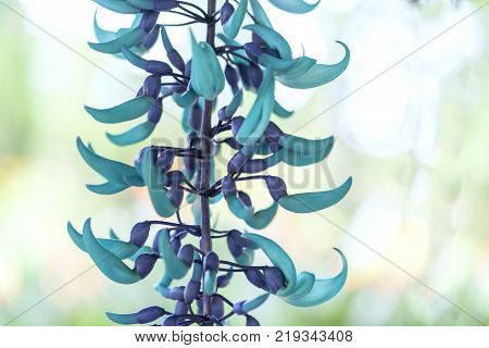 Strongylodon macrobotrys Jade Vine bloom as beautiful tiger nails in the garden.