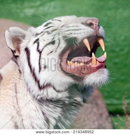 White tiger yawns and shows his beautiful powerful fangs. Shot made in Demidov Zoo in Ukraine