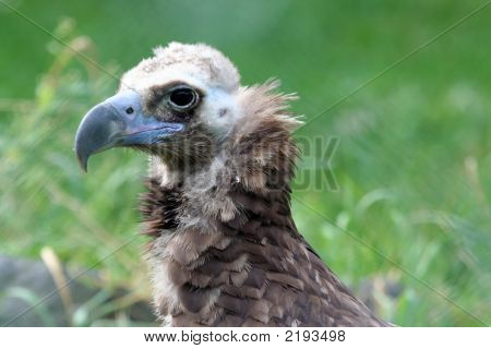 A close up portrait of the head of a vulture poster