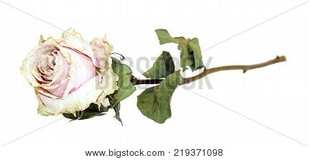 Herbarium Of White Rose Dry Flower On A Long Stem With Withered Bent Folded Green Leaves Isolated