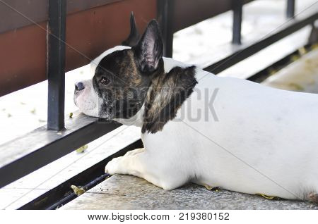 absent-minded dog or French bulldog on the floor