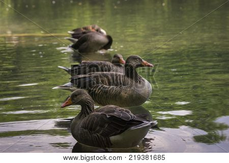 View to a Group of perching Greylag Gooses in a Lake. Close-up of beautiful Greylag Geese in the Water. Birds in a Row. Animals and Wildlife Backgrounds.