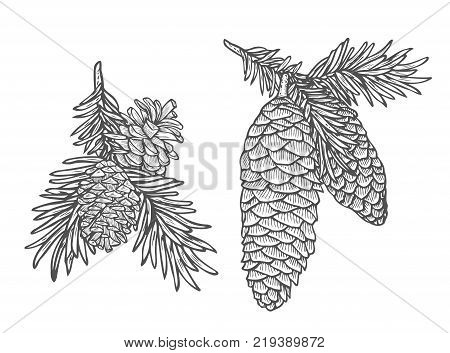 Hand drawn Pine cone and fir tree set. Botanical hand drawn vector illustration. Isolated xmas pinecones. Engraved collection. Great for greeting cards, backgrounds, holiday decor