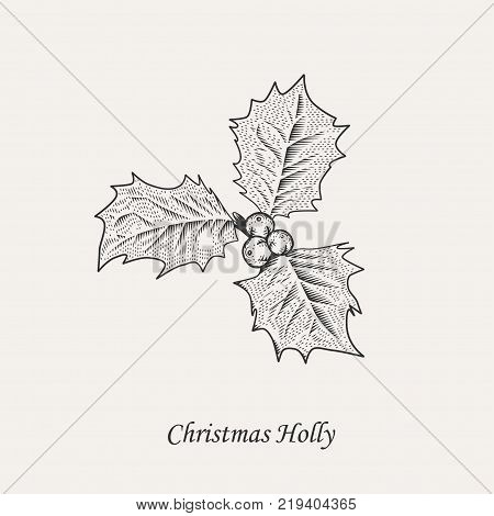 Christmas holly branch. Ilex aquifolium leaves and fruits in style of black and white vintage engraving vector illustration