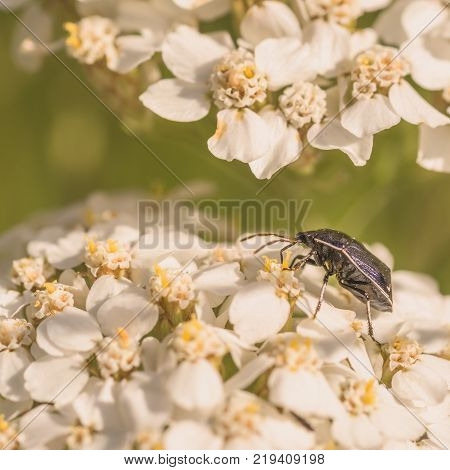 Macro of a white margined burrower bug on white whilte flowers.