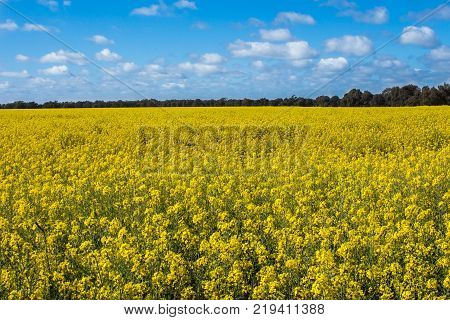 Aerial view of bright yellow canola crops with blue sky on farmland in Narromine, New South Wales, Australia