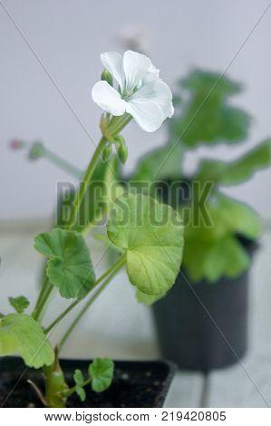 White pelargonium flower, geranium, storksbills home plant