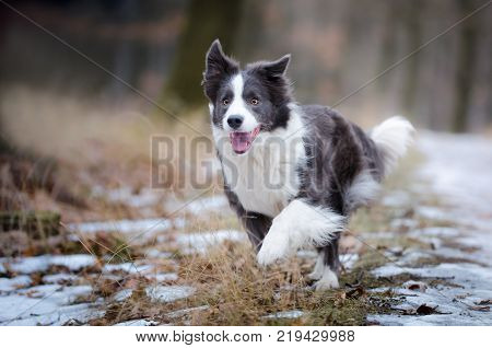 Border collie in the foerrest in winter time