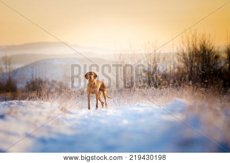 portrait of Hungarian hound dog on snow in winter time