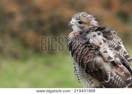 A close detailed profile portrait of a red tailed hawk with ruffled feathers looking to the left