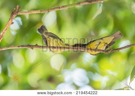 Bird (brown-throated Sunbird) Feeding Baby Bird