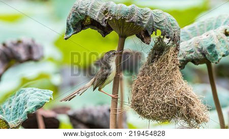 Bird (brown-throated Sunbird) Feeding Baby Bird