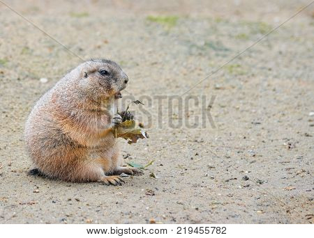 Very funny and angry Prairie dog eating food in natural background at the zoo. Prairie dogs, Cynomys, are herbivorous burrowing rodents native to the grasslands of North America.